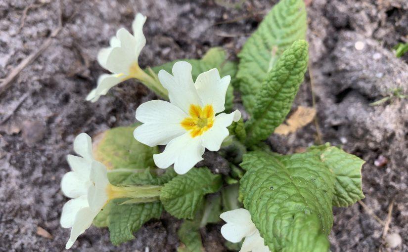 In december al een beetje voorjaar dankzij primula vulgaris