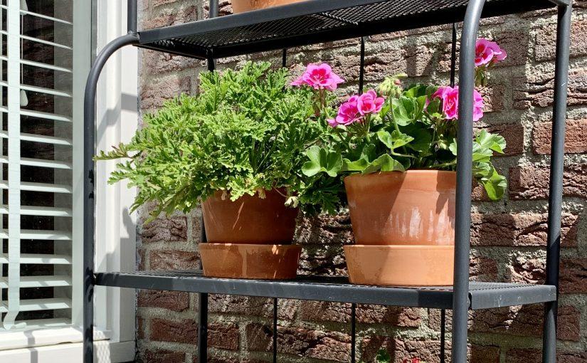 Geraniums stekken: gratis planten erbij